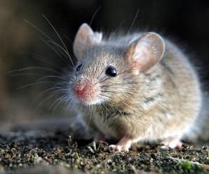Soñar con Ratones o Ratas