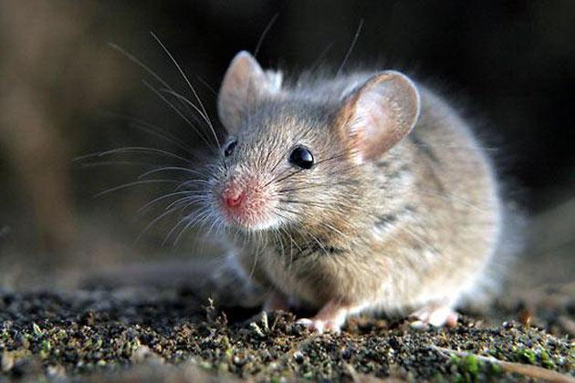 significado-de-sonar-con-ratones-o-ratas
