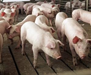 Soñar con Cerdos: Un buen augurio
