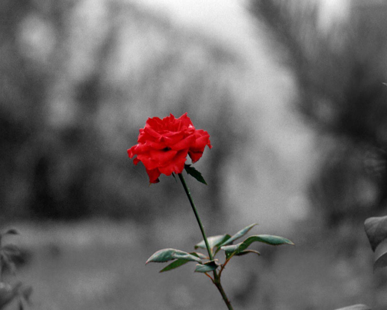 sonar-con-rosas